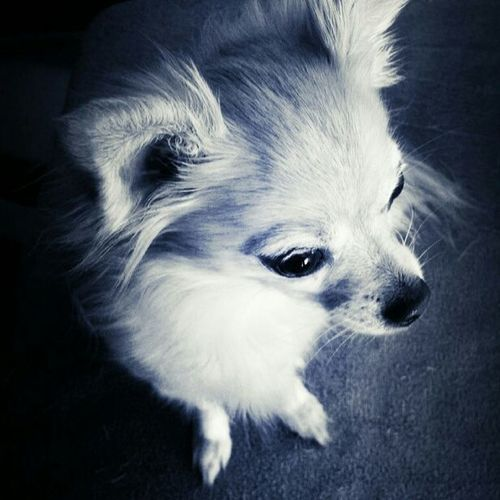 Louis the Chihuahua Work Pets Dog Taking Photos Black & White Doggrooming California Losangeles BentleyPetMobile Chihuahua Lovemyjob