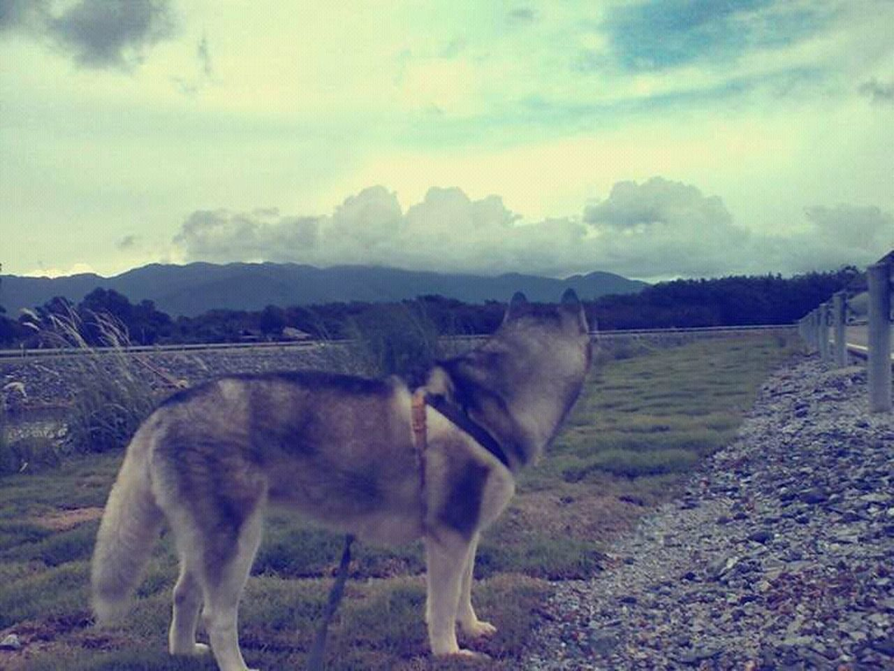 animal themes, domestic animals, one animal, mammal, outdoors, sky, nature, day, field, no people, livestock, landscape, mountain