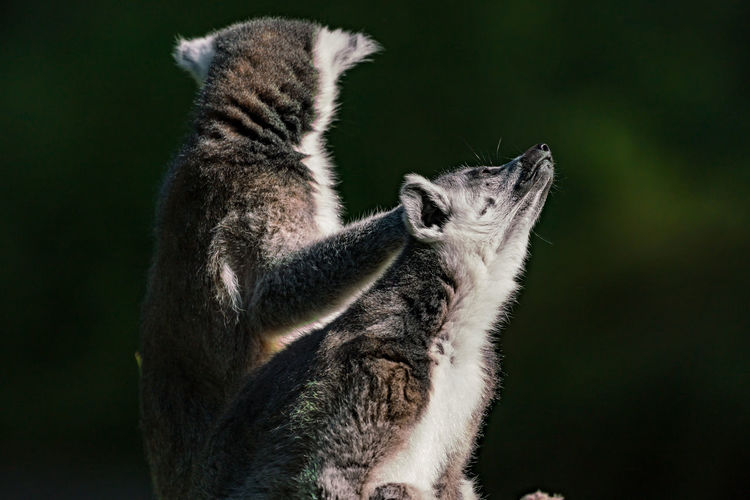 Two lemurs outdoors