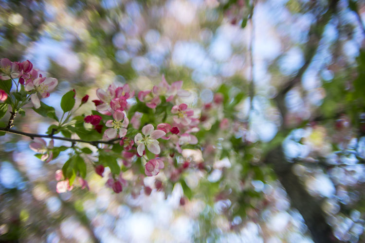 Beautiful Blooming Blossom Bokeh Exploding Boke Exploding Bokeh Flowers Focus On Foreground Nature Nature Petal Pink Color Spring Vintage Cars Vivitar 28mm 1.9