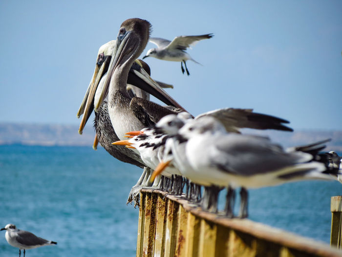 Seagulls perching on wooden post in sea against sky