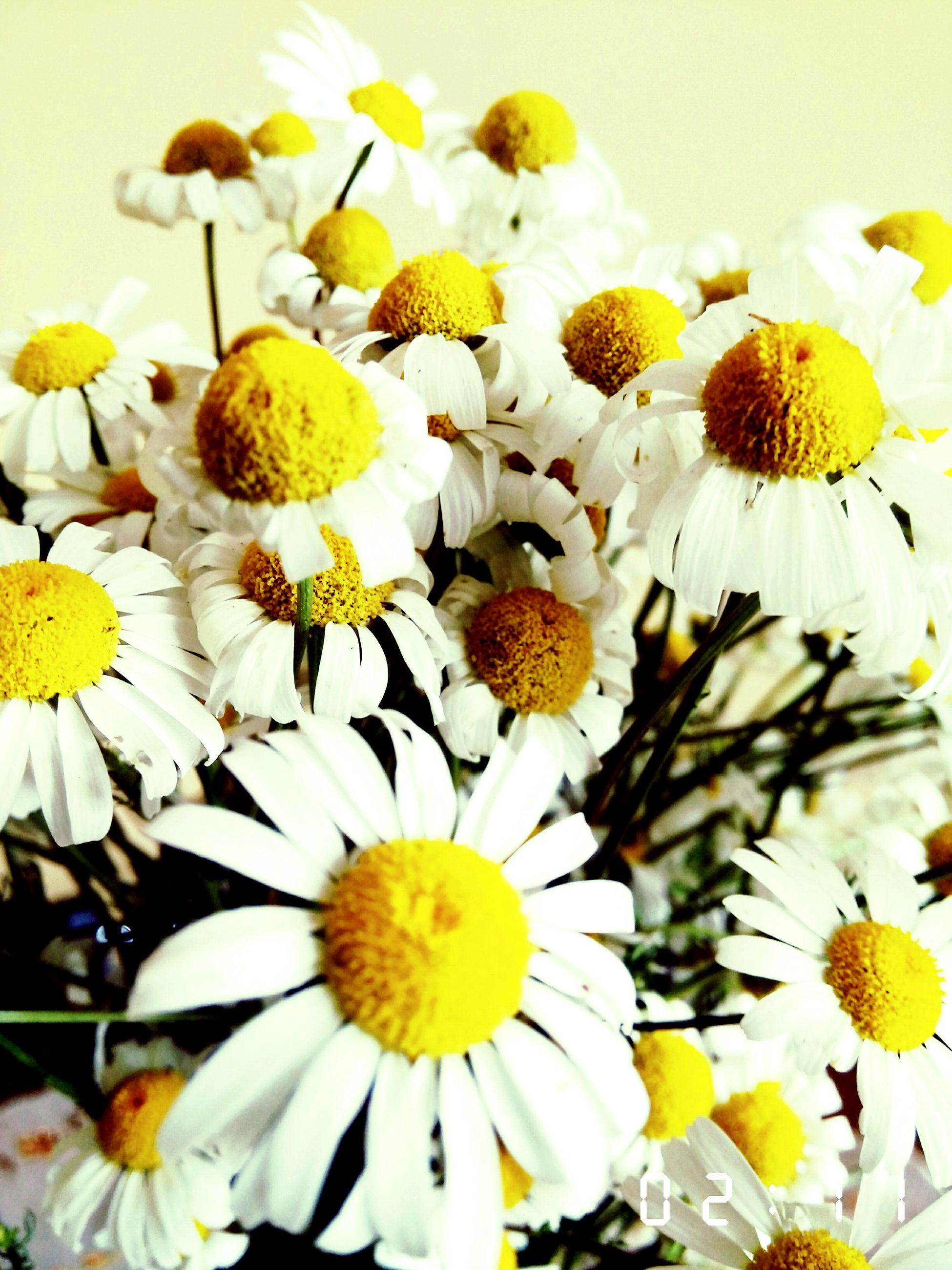 flower, freshness, fragility, petal, flower head, yellow, beauty in nature, white color, growth, daisy, pollen, blooming, nature, plant, close-up, in bloom, blossom, botany, day, no people