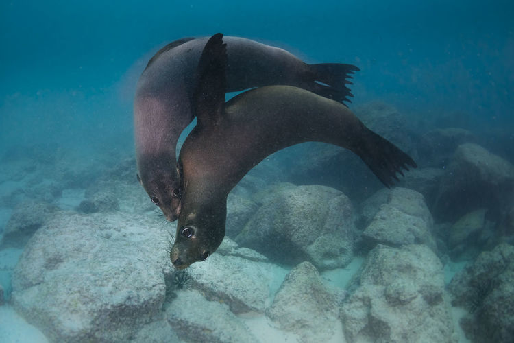 Seals swimming undersea