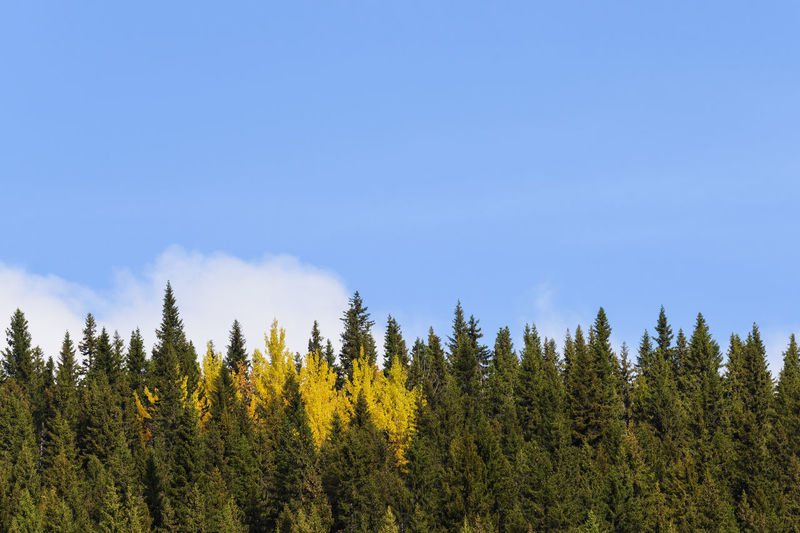 Trees in forest against blue sky