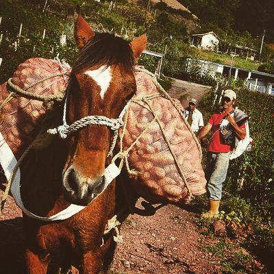Transporte de hortalizas por medio de caballos en el sector Mesa de Aura en el estado Tachira  Venezuela Venezuelatravel Venezuelaes Gotravelfree Gf_venezuela Gf_colombia IG_GRANCARACAS IgersVenezuela Insta_ve Instapro_ve IG_Venezuela InstaLoveVenezuela Instafoto_ve Instaland_ve Destinomaschevere Tequierovenezuela Thisisvenezuela Icu_venezuela Ig_lara Igworldclub Ig_tachira IG_Panama Instaland_ve Ig_merida instavenezuela elnacionalweb venezuelapaisajes instanature gf_daily venezuelacaptures
