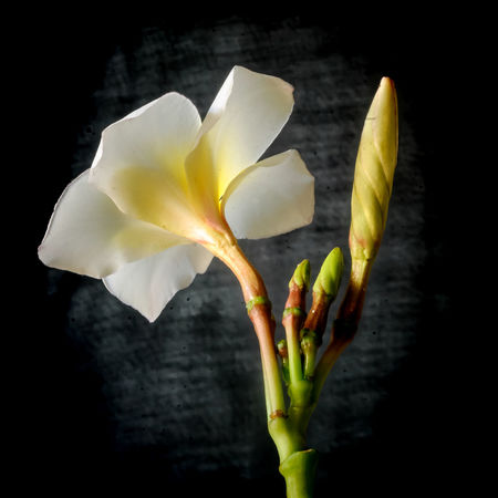 Flower & Buds Beauty In Nature Black Background Blooming Blossom Botany Close-up Flower Flower & Buds Flower Head Focus On Foreground Fragility Freshness Growth Gunbir In Bloom Lily Nature Petal Plant Pollen Softness Stamen Stem White Color Yellow