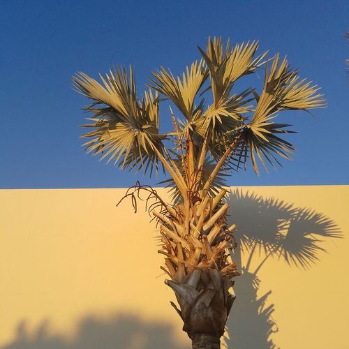 Resist Blue Tree Palm Tree Nature No People Clear Sky Close-up Day Sky Outdoors Second Acts Colour Your Horizn
