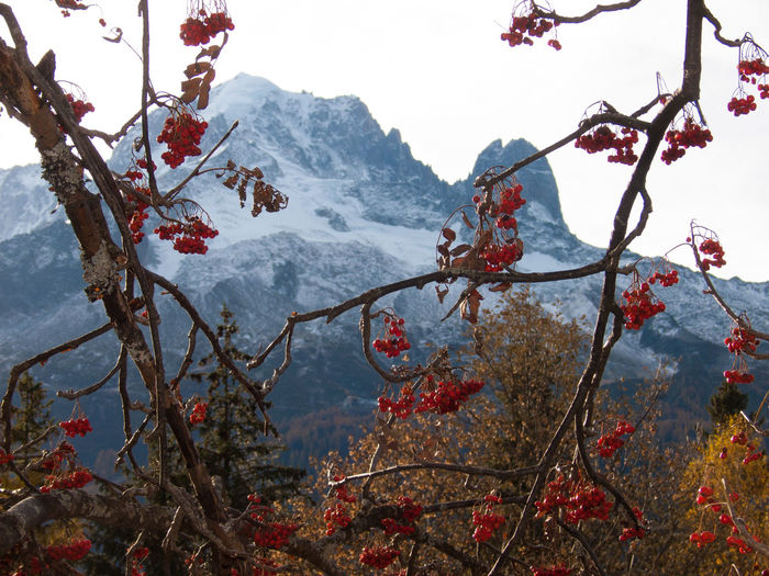 Cherries growing on tree against mountain