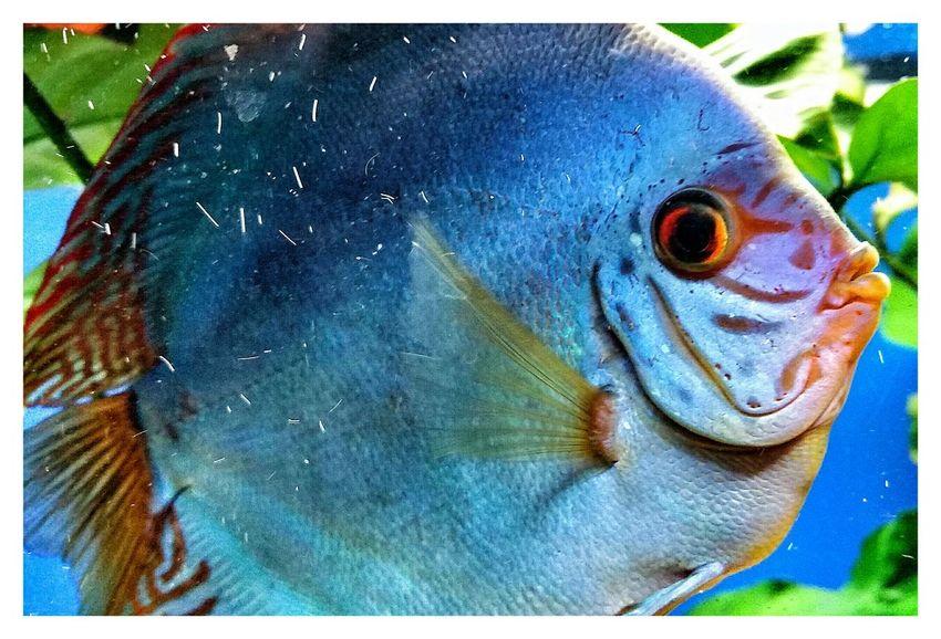 Discusfish Discus Fish Discus Fish Aquarium Aquaristik