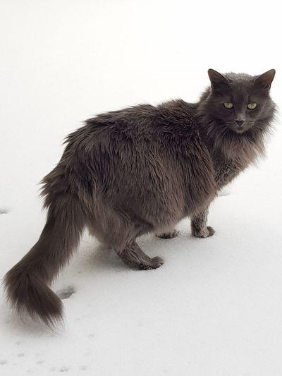 Cat♡ Maine Coon