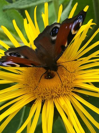 Butterfly 🦋 Butterfly💓 🎈👻 Nantes Green Eye😍 🎈👻 Lively👺🌛🌻🌼 Butterfly💓 Flower Flowering Plant Invertebrate Insect One Animal Animal Themes The Great Outdoors - 2018 EyeEm Awards Beauty In Nature Animal Animal Wildlife Plant Petal Animals In The Wild Close-up Freshness Growth Fragility Vulnerability  Flower Head Yellow Animal Wing