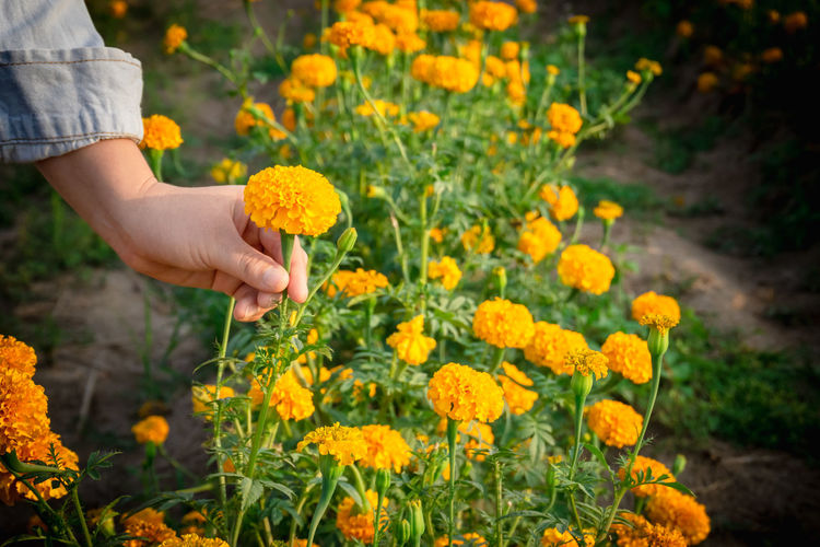 Flower Flowering Plant One Person Plant Freshness Hand Nature Holding Human Hand Growth Yellow Human Body Part Fragility Field Beauty In Nature Focus On Foreground Land Vulnerability  Day Outdoors Flower Head Gardening Marigold Marigold Flower Marigold Garden