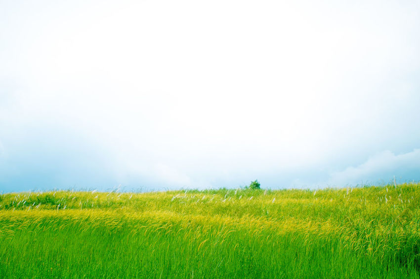 Beauty In Nature Nature Landscape Tranquil Scene Landscapes Horizon Over Land Grassy Tranquility Grass Field Growth Scenics Green Color Outdoors Bloom Greenery Freshness