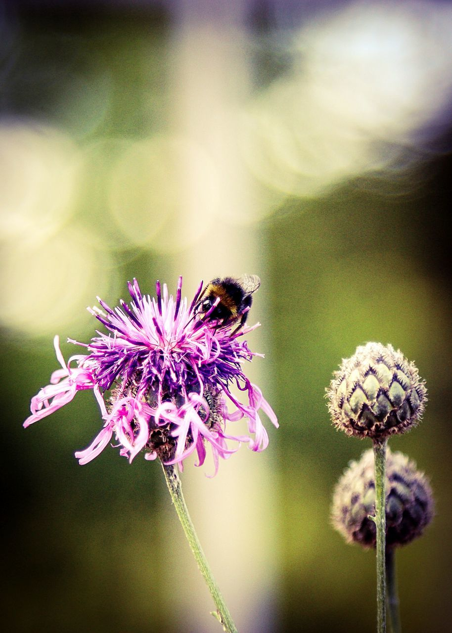flower, insect, fragility, nature, animal themes, beauty in nature, animals in the wild, petal, one animal, plant, growth, freshness, flower head, pollination, bee, purple, no people, focus on foreground, day, outdoors, close-up, animal wildlife, blooming, bumblebee, thistle, buzzing