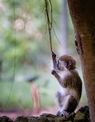 Green Monkey Animal Animal Themes Animal Wildlife Animals In The Wild Branch Day Focus On Foreground Mammal Monkey Nature No People One Animal Outdoors Plant Primate Sitting Tree Tree Trunk Trunk Vertebrate Whisker