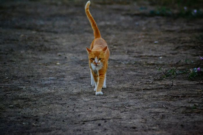 Cat Cat Walking One Animal Animals In The Wild Animal Themes Animal Wildlife Outdoors