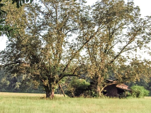Barn Old Red Barn Farm Outdoors Forgotten Places  Pecan Trees Nature Growth Tree Field Beauty In Nature Green Color No People Grass Tranquility Day Branch Scenics Sky Old Building  Overgrowth Rural Scene Rural America Mississippi  Antebellum