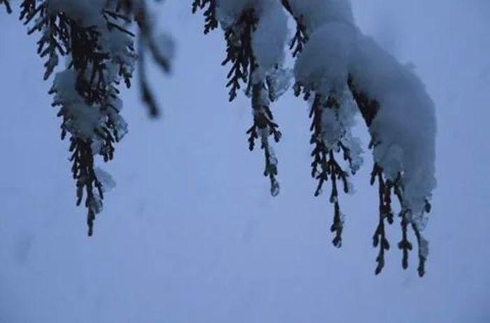 The Purist (no Edit, No Filter) Pine Tree Snowy Tree Winter Wonderland