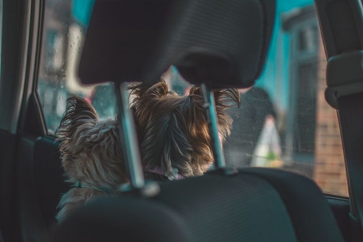 Rear view of dog in car