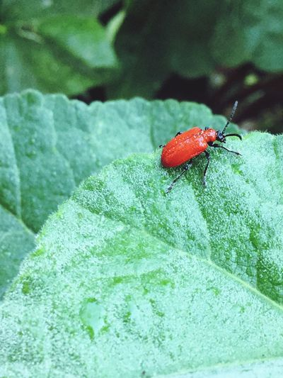 Insect Award Winner EyeEm Best Shots - Nature Naturelovers Nature Photography Red Lilly Beetle Red Lily Beetle Insect Invertebrate Animals In The Wild Animal Wildlife Animal Animal Themes One Animal Close-up Beetle Green Color Nature Leaf Red Outdoors High Angle View Focus On Foreground Zoology