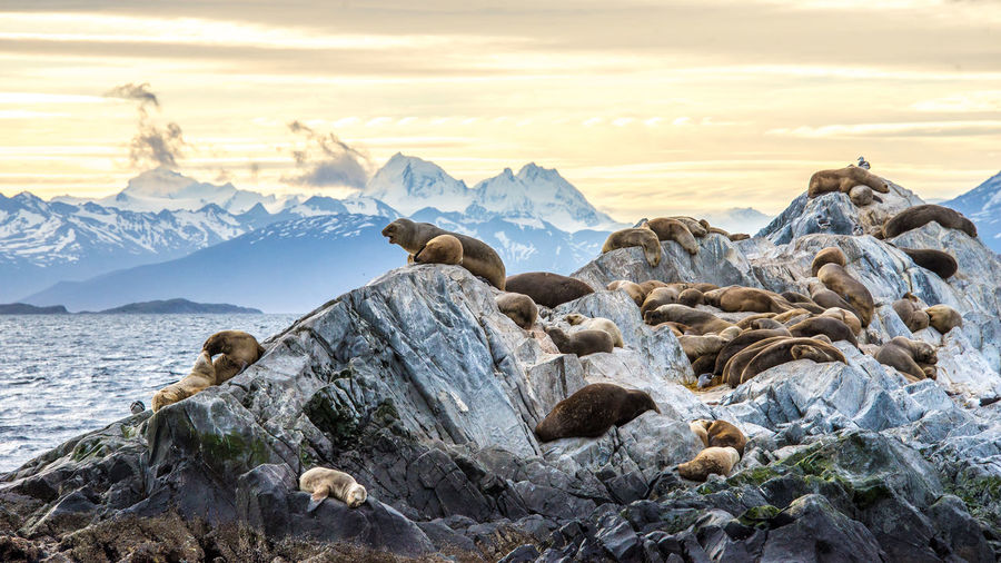 Seals rest on the rocks of an island off of Ushuaia, Argentina in Patagonia Seal Seals Wildlife Ushuaia Argentina Ushuaïa Ushuaia Tierradelfuego Argentina Argentina Photography Patagonia Patagonia Argentina Patagonia Wildlife Wildlife & Nature Wildlife Photography Animals In The Wild Animal Animals Ocean Ocean Wildlife Island Sunset Rock Beauty In Nature Sea Lions Sea Lion Coast Line