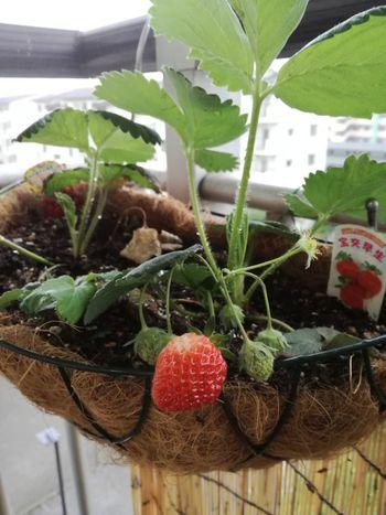 いちご の実がいい感じで赤く色づいてきました。私の口に入ることはないだろうけど( ´∀`) 苺 いちご ベランダ菜園 Strowberry 😚