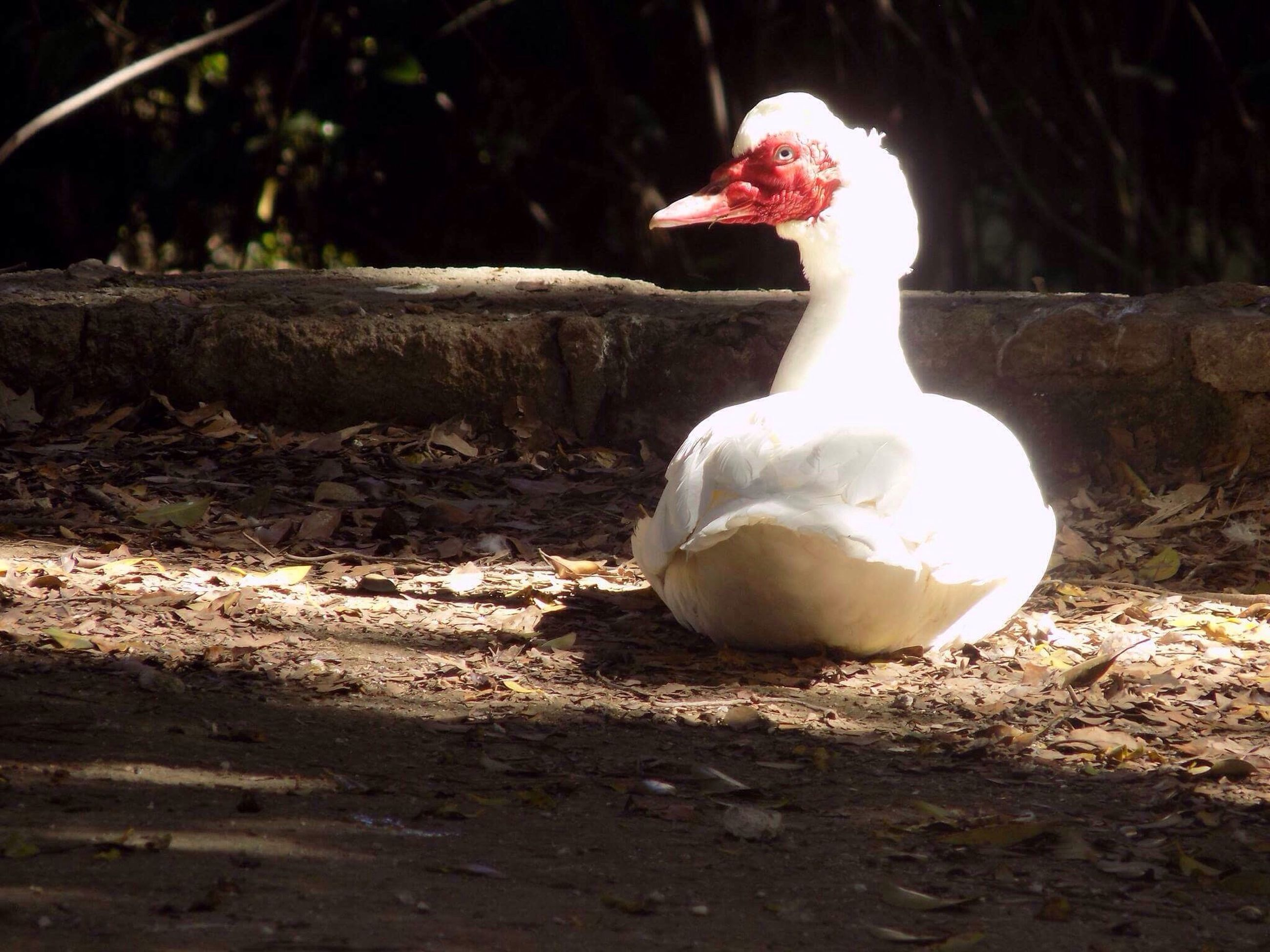 bird, animal themes, no people, muscovy duck, outdoors, one animal, animals in the wild, day, domestic animals, close-up, nature, swan