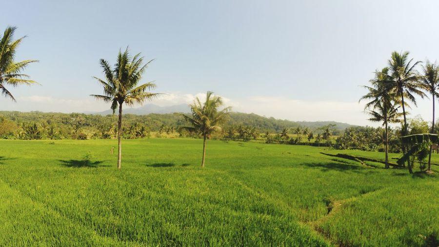 padi dan kelapa