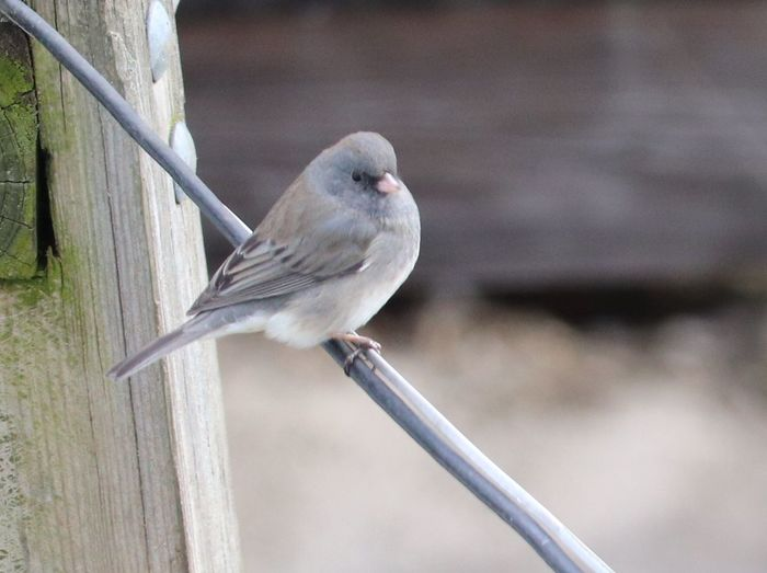Darkeyedjunco EyeEm Selects Bird Animal Wildlife Perching Animals In The Wild One Animal Animal Themes No People Nature Outdoors Day Close-up Beauty In Nature