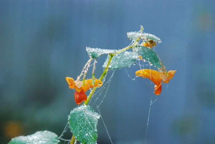 EyeEmNewHere Focus On Foreground Close-up Nature Plant Outdoors Fragility Beauty In Nature Flower Freshness Autumn Orange Color Cobweb Spider Web Misty Morning Fall Morning Dew Drops On Leaf