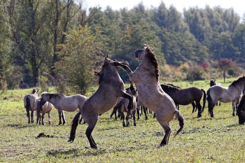 Playing Konik Horses Group Of Animals Animal Animal Themes Animal Wildlife Mammal Domestic Animals Plant Nature Animals In The Wild Beauty In Nature