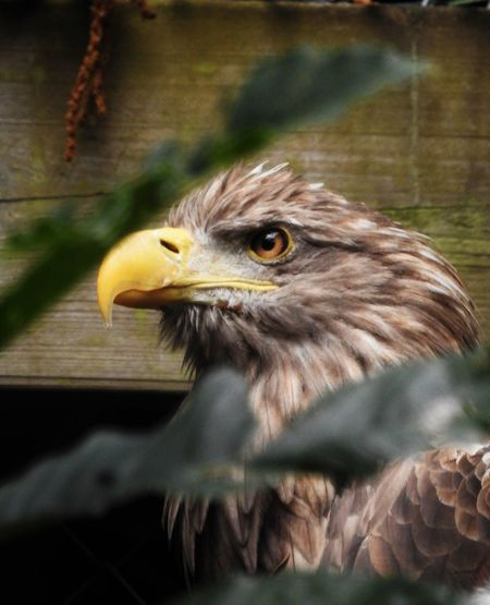 Close-up of eagle against wood