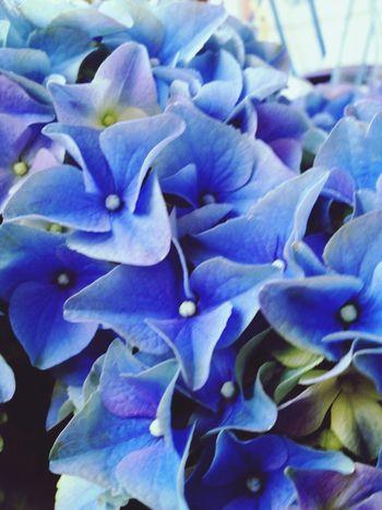 hydrangea.. blue