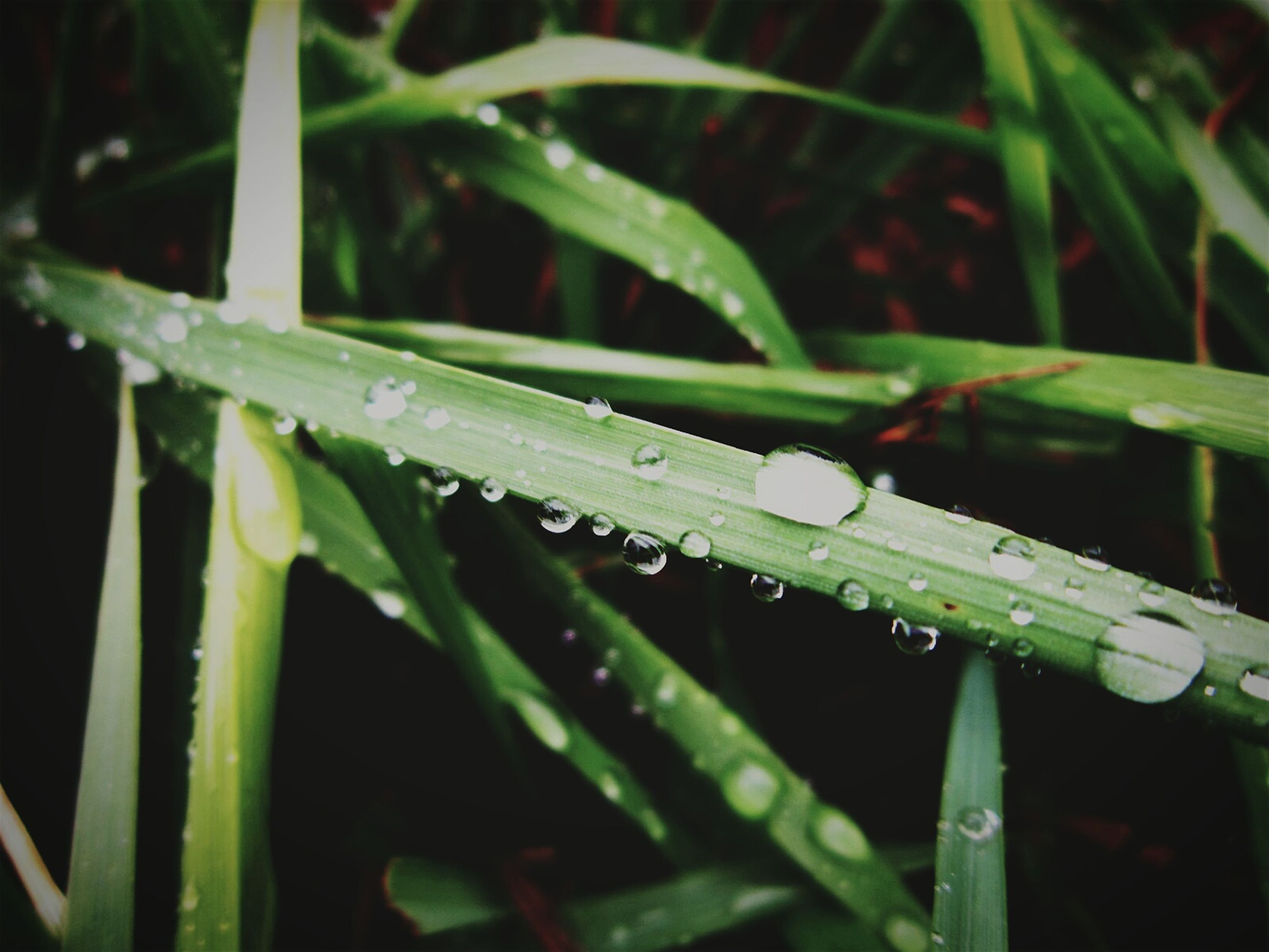 drop, green color, water, wet, growth, grass, close-up, nature, leaf, blade of grass, plant, focus on foreground, beauty in nature, freshness, selective focus, dew, field, outdoors, day, fragility