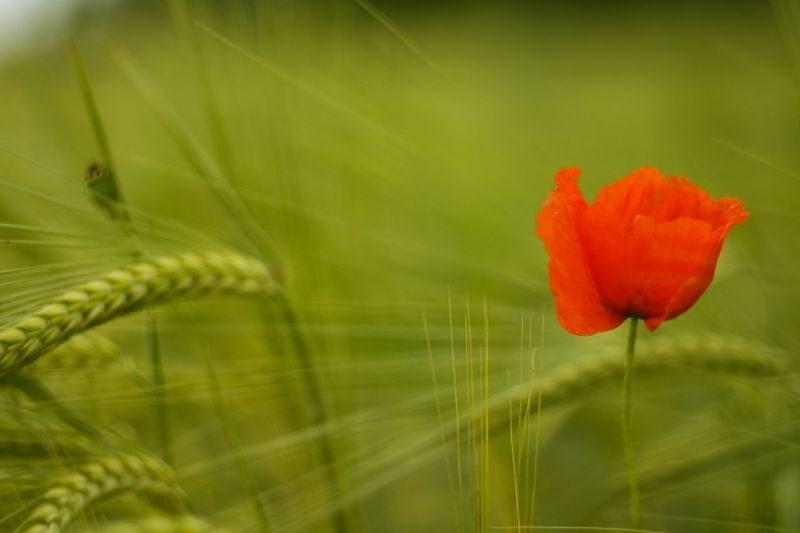 Beauty In Nature Close-up Day Flower Flower Head Fragility Freshness Green Color Growth Nature No People Outdoors Petal Plant Red Wheat