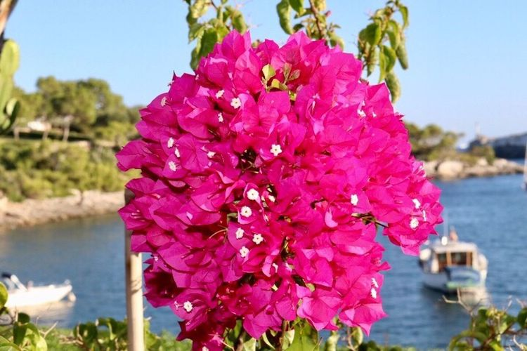 Beautiful Bougainvillea Pink Color Focus On Foreground Flower Head Beauty In Nature