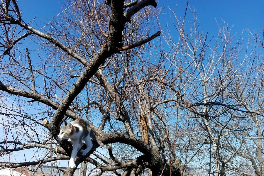 Low Angle View Sky Tree Blue Branch No People Nature Bare Tree Outdoors Day Beauty In Nature Close-up Animals On Market Domestic Animals Kitty Wolfzuachiv Showcase: February Huaweiphotography Eyeem Market Showcase: 2017 Edited By @wolfzuachis Cats Of EyeEm Cat On Tree Cat EyeEmNewHere Live For The Story