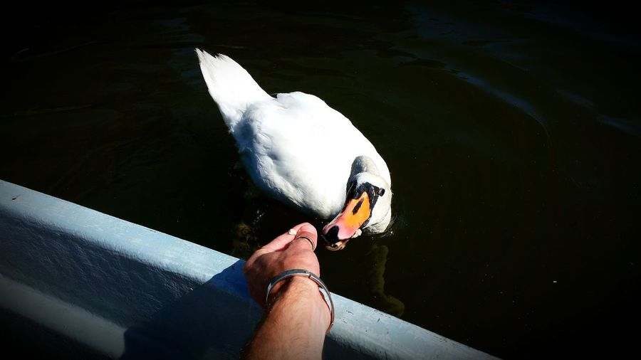 Cropped hand feeding swan by lake