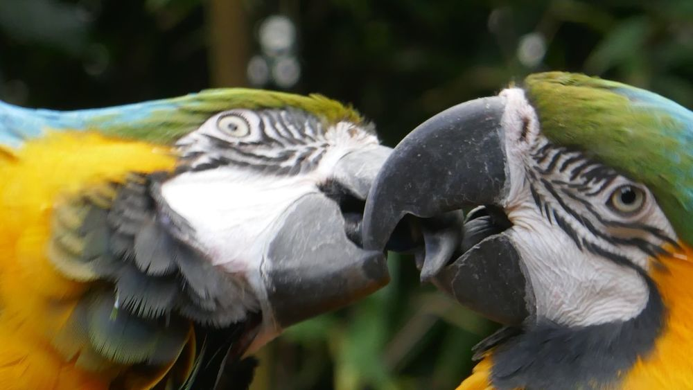 EyeEm Selects Two Parrots Bird Animals In The Wild Animal Themes Animal Wildlife Two Animals Focus On Foreground Day Beak Gold And Blue Macaw Close-up Outdoors No People Parrot Nature Togetherness Macaw Spread Wings Perching Bird Photography