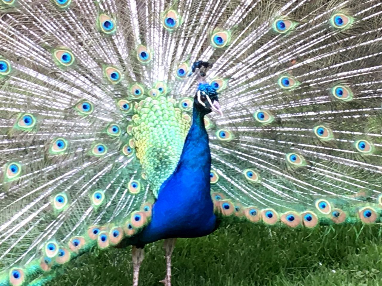 CLOSE-UP OF PEACOCK WITH BLUE FEATHERS