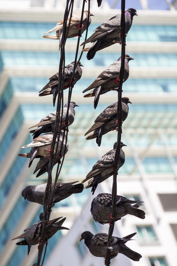 Birds sitting on high cables against building backdrop Adapted To The City Birds Building Cables City Day Looking Up Low Angle View Outdoors Pigeons Pigeonslife Power Lines Row Row Of Birds Sitting In A Row Street Photography Two Rows Urban Urbanphotography
