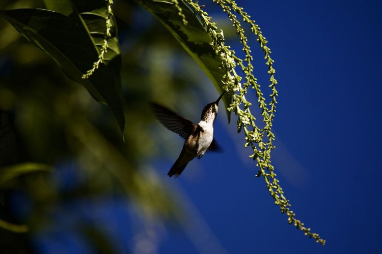 Animal Wildlife Animals In The Wild Animal Vertebrate Animal Themes One Animal Bird Flying Plant Nature Day Motion No People Low Angle View Blue Sky Outdoors Spread Wings Beauty In Nature Tree
