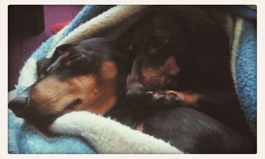 Lotus & Zelda DogLove Dachshund I Love My Dog Cute Pets