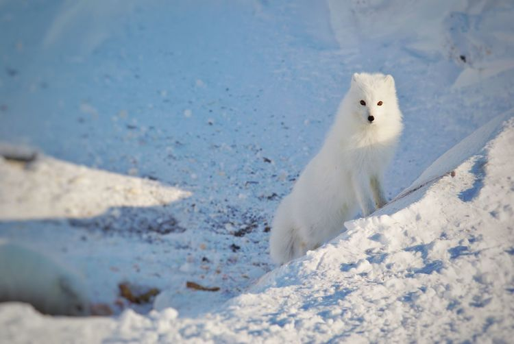Arctic fox on snow covered land