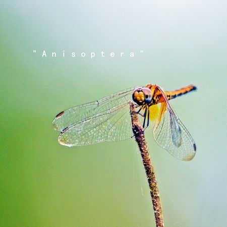 """Anisoptera"" - Spotted at Kg.Kundur Hilir, N9.. Nikon Nature Insect Anisoptera dragonfly d7000 nofilter"