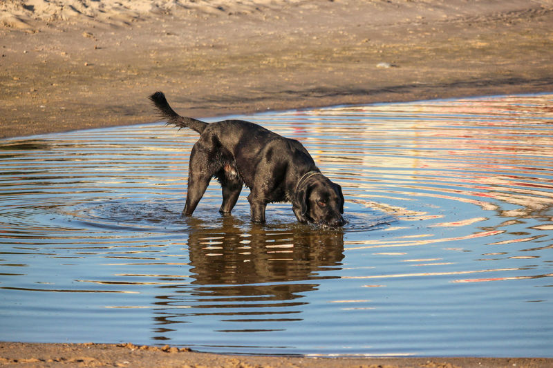 Dog drinking water in a lake
