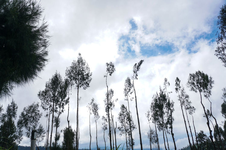 Tall tree, Mount Bromo. Tree Plant Sky Low Angle View Cloud - Sky Growth Beauty In Nature Tranquility No People Day Nature Tranquil Scene Outdoors Scenics - Nature Land Forest Non-urban Scene Tall - High Environment Coniferous Tree Bromo Bromo-tengger-semeru National Park Bromo Mountain Bromo Mountain Indonesia INDONESIA