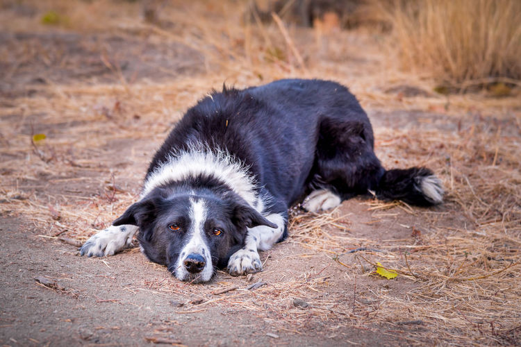 Border collie lying on ground waiting for person to throw stick Afternoon Autumn Border Collie Brown Eyes Field Natural Light October Waiting Black And White Fur Canine Close-up Cute Dog Friendly Looking At Camera Lying Down Mammal Outdoor Outdoors Outside Pet Playful Playing Fetch Portrait Vineyard