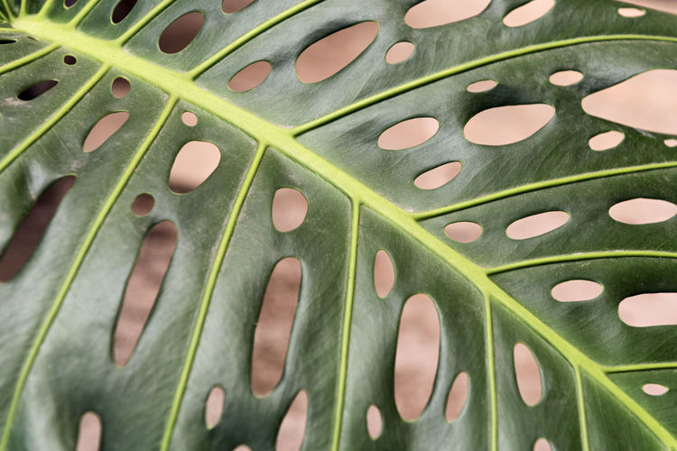 Monstera deliciosa (Swiss Cheese Plant) Green Color Pattern Full Frame Nature Plant Leaf Vein Leaf Monstera Deliciosa Swiss Cheese Plant Ceriman Backgrounds Nature Garden Ornamental Copy Space Abstract Beautiful Green Botany Gardening Houseplant Growth Flora Plant Part Close-up