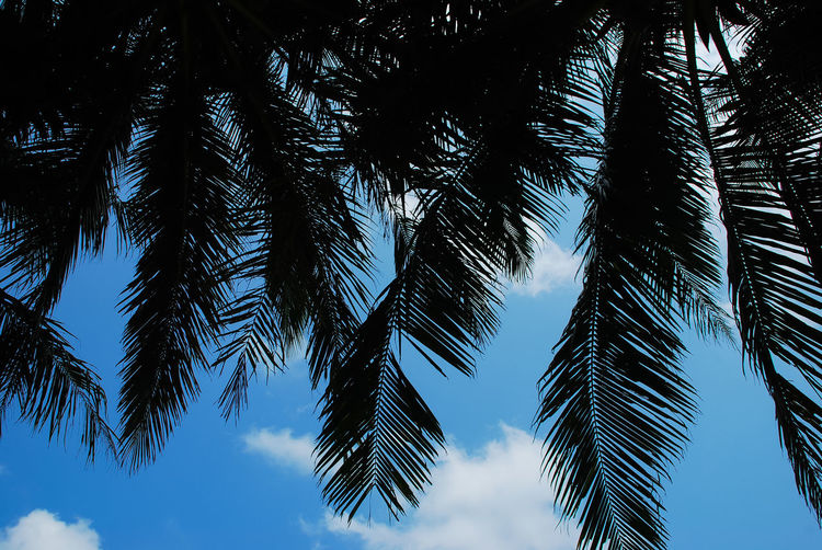 Beauty In Nature Blue Clear Sky Coconut Palm Tree Day Growth Leaf Low Angle View Nature No People Outdoors Palm Leaf Palm Tree Plant Scenics - Nature Silhouette Sky Tranquil Scene Tranquility Tree Tropical Climate